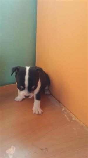 Dogs and Puppies in Delmas | Junk Mail