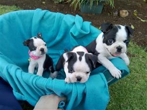 Boston Terrier female puppies