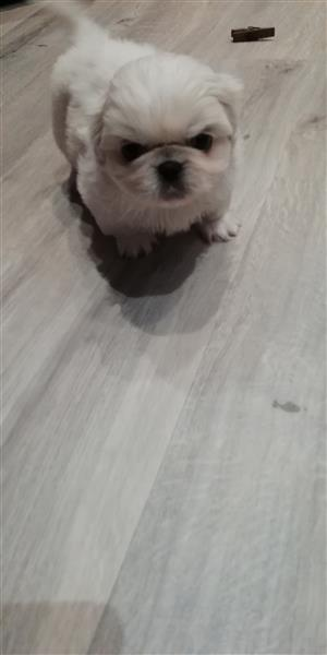 Purebred Pekingese pups for sale