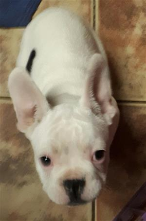 Kusa registered French Bulldog puppy