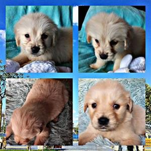 Gorgeous purebred Male Golden Retriever puppy