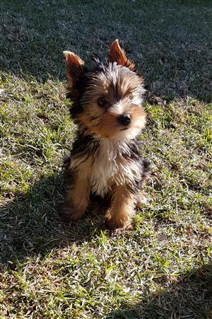 Female and male Miniature Yorkie puppies