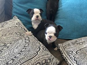 Vet checked Boston Terrier Puppies for sale