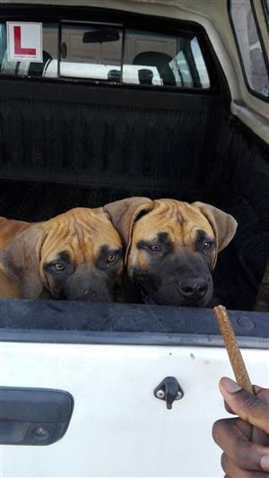 Beautiful Bull Mastiff puppies