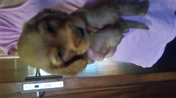 Cockerspaniel pup