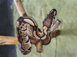 Ball python and Cornsnakes
