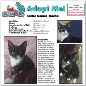 Rachel - ready to fill your heart and home with her sweetness. A CatzRus kitten.