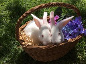 Pure bred New Zealand white rabbits