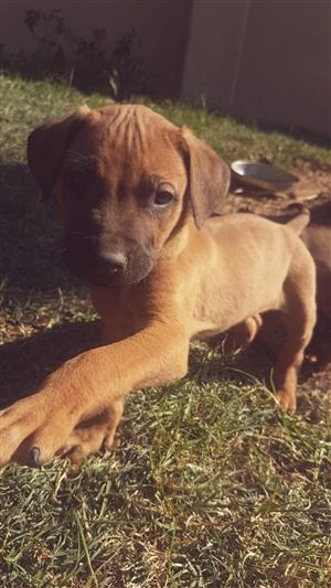 Beautiful Ridgeback puppies 8 weeks old