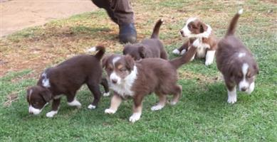 Brown border collies puppies