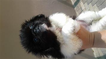 Pekingese puppys R800