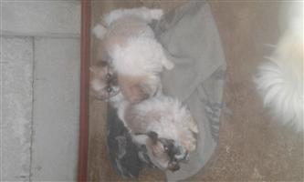 pekingese pure bred puppys