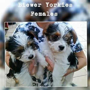 Traditional Biewer Yorkies for sale.