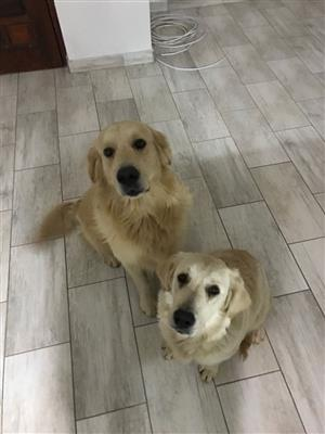 KUSA registered GOLDEN RETRIEVER Puppies