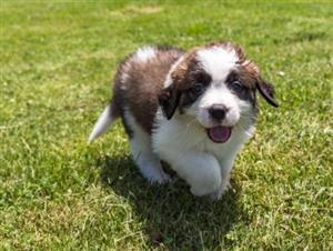 Saint-Bernards puppies for sale