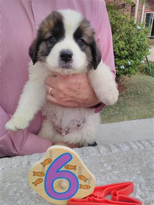 Purebred St. Bernard pups for sale