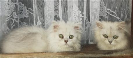 Chinchilla Kittens