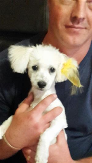 Maltese poodles for sale