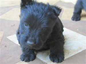 Purebred Scottish Terrier Male