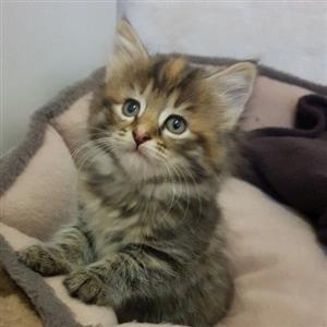 Longhair & shorthair Domestic kittens