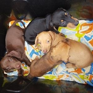 Mini Daxi Dachshund puppiee