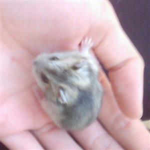 Russian dwarf hamsters