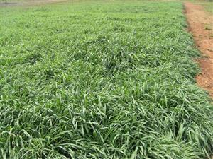 Russian grass tuffs special offer