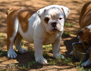 Most beautiful KUSA Reg English Bulldog pups available