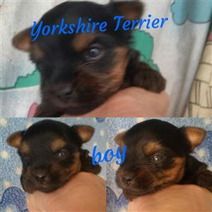 Black Friday!Yorkshire Terrier boy