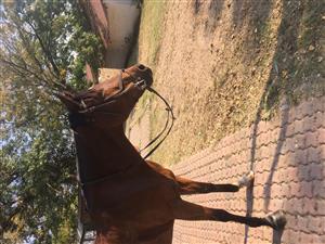 Stunning up to height pony