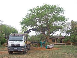 Supply and installation of large specimen trees