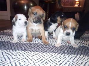 X breed puppies