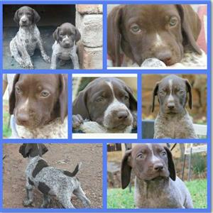 German Pointer puppies