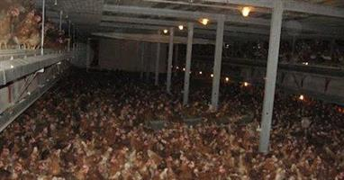 live chicken point of lay hens