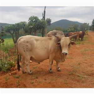 Boran Bull