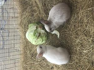 Cute Netherlands dwarf bunnies