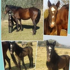 RegisteredSa Boerperd mare and foal