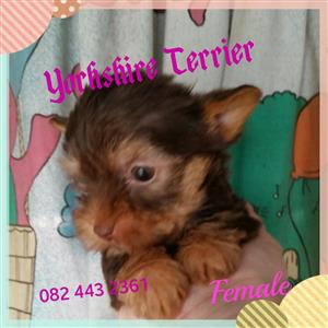 Yorkshire Terrier very small girls