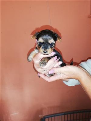 Yorkie Puppy's