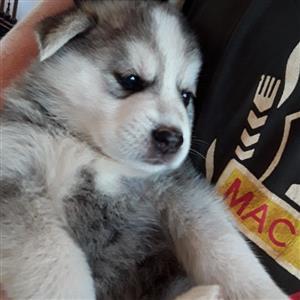 Female Husky Puppy
