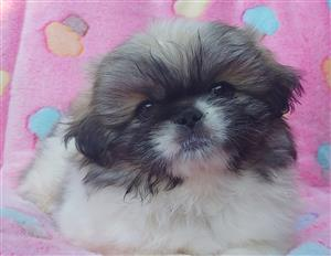Gorgeous outgoing and lovable Pekingese Pups for sale to loving forever homes