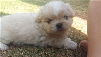 Pekingnese pups available
