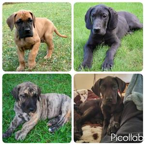 big great dane puppies