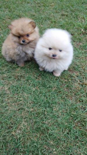 Miniature, pocketsize Toypoms. ( pomeranians) . .