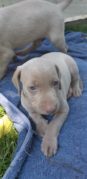 Weimeraner puppies for sale.