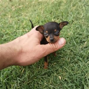 Miniature Doberman Pinscher Teacup Size Puppies