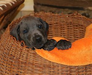 Registered Great Dane puppies