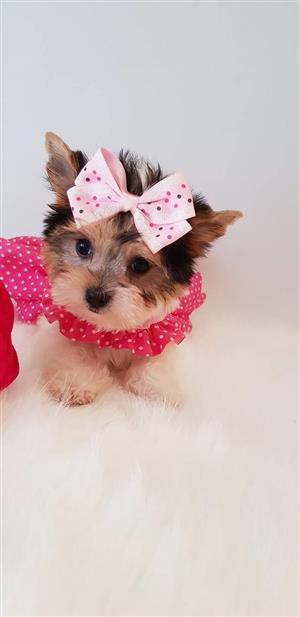 Biewer Yorkshire terrier girl