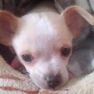 chihuahua dogs and puppies For Sale in Pets in Pretoria