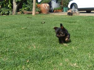 Pedigree miniature yorkie  male puppies for sale